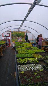 Propagation polytunnel growing vegetable plug plants for sale