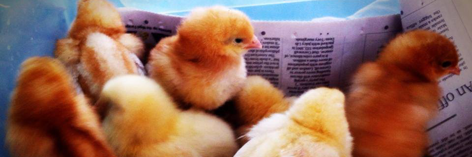 chicks in incubator
