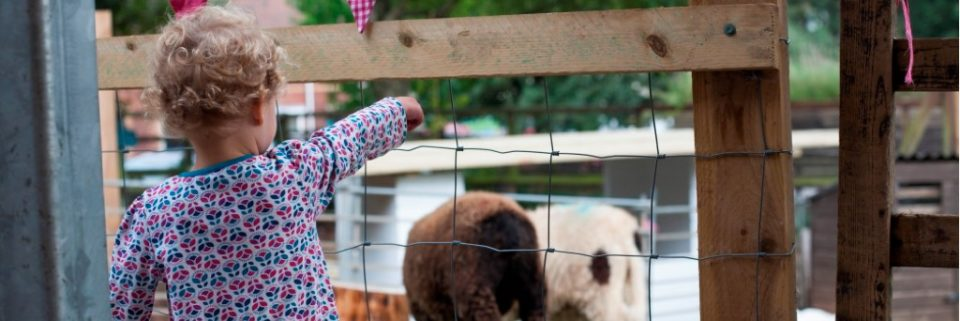 child looking at our sheep