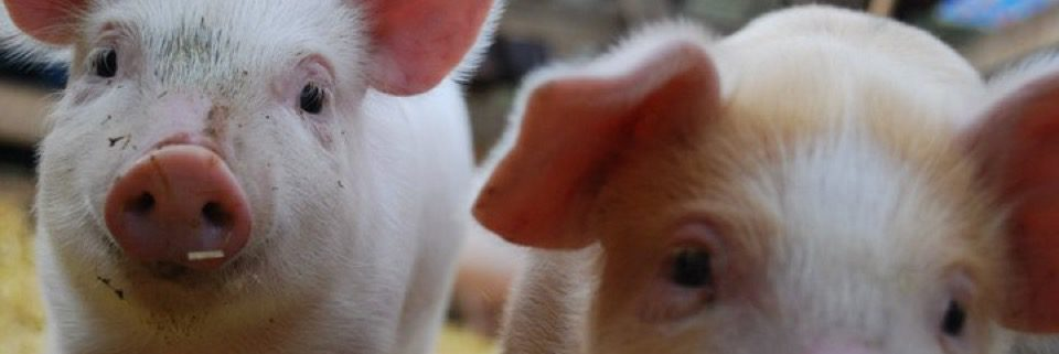 Two piglets on the farm