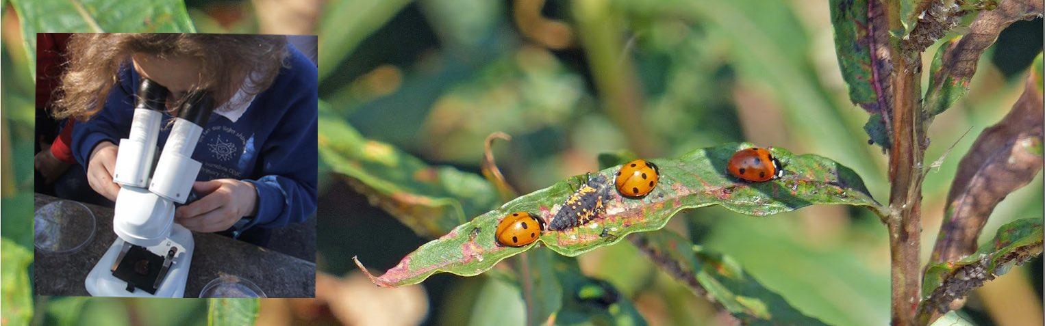 ladybirds, girl using microscope